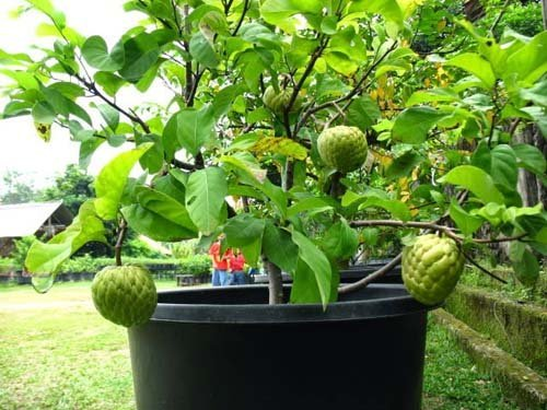 Top 7 cây ăn quả trồng trong chậu tại nhà mà vẫn đơm hoa kết trái, kéo tài lộc ào ào