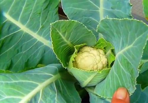 hướng dẫn tự trồng súp lơ trắng tại nhà