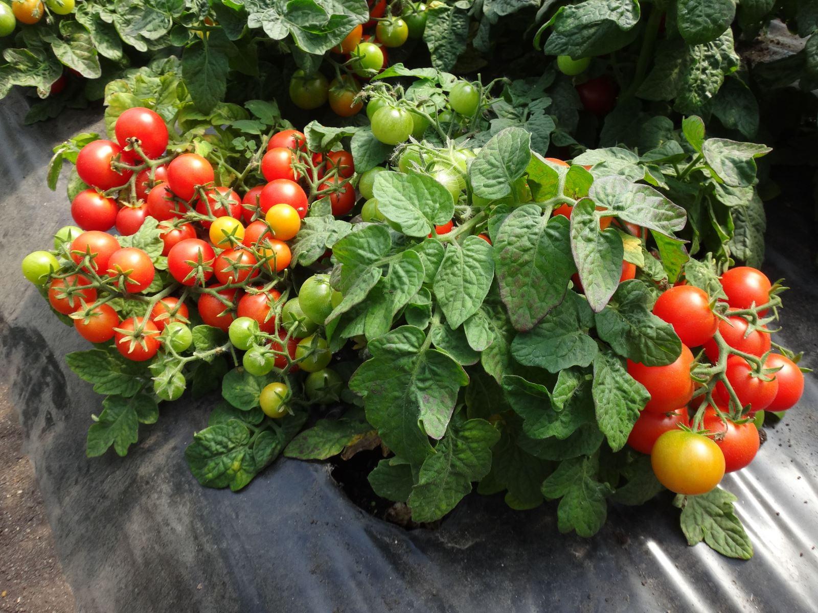 Томат видимо-невидимо (50 фото): описание сорта помидоров, о.