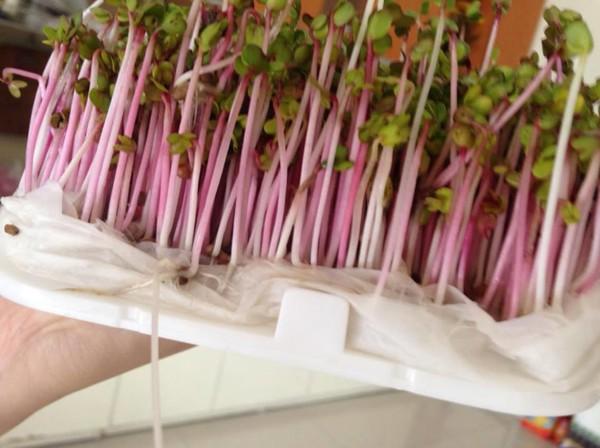 Hướng dẫn trồng rau mầm bằng máy làm giá đỗ GV 102.
