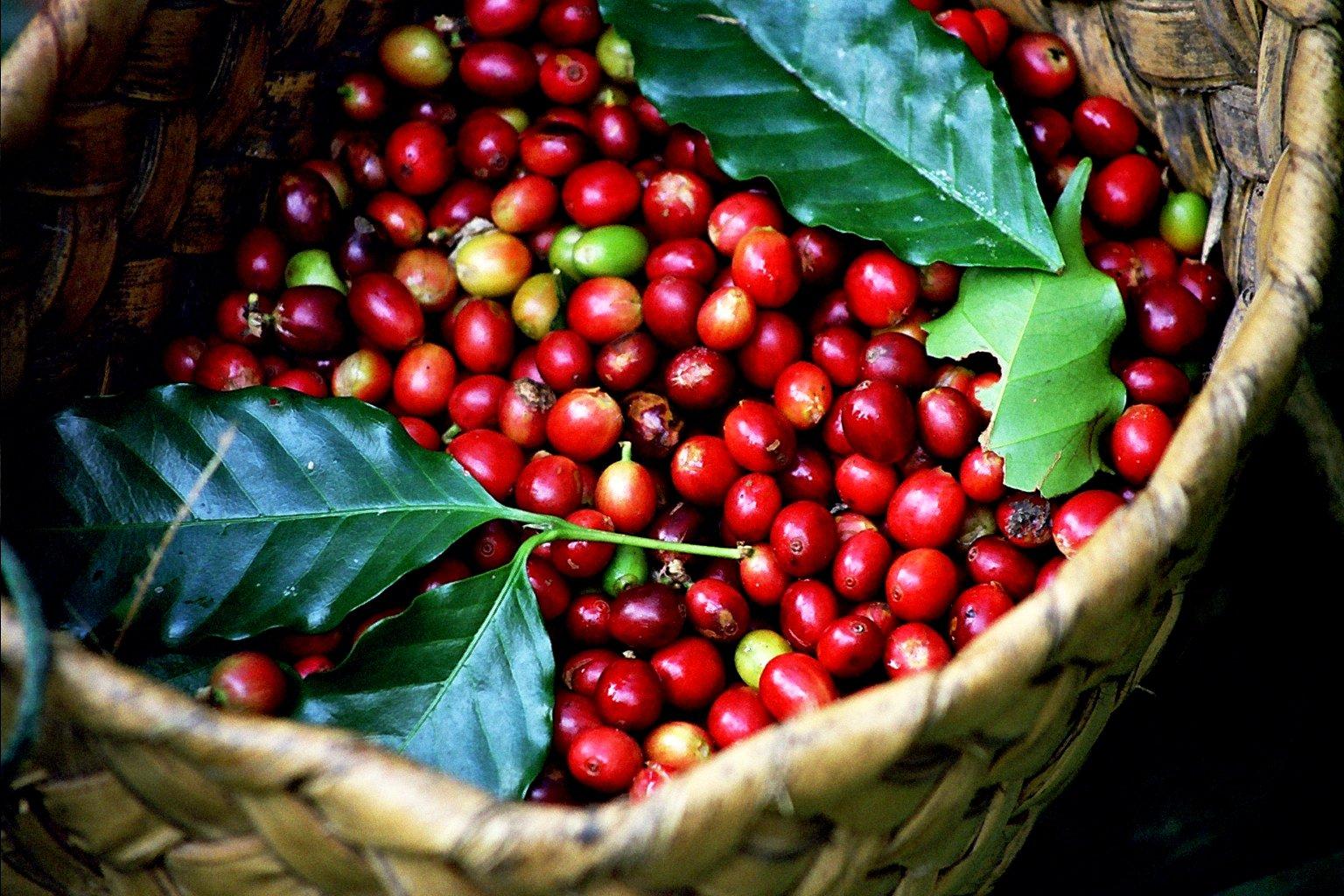 Image result for cây cà phê