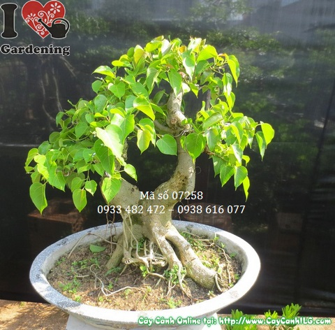 Cay bo de bonsai