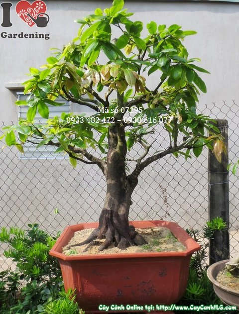Cay mai vang bonsai
