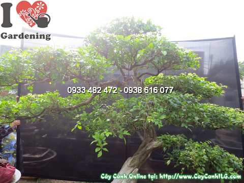Cay nguyet que bonsai