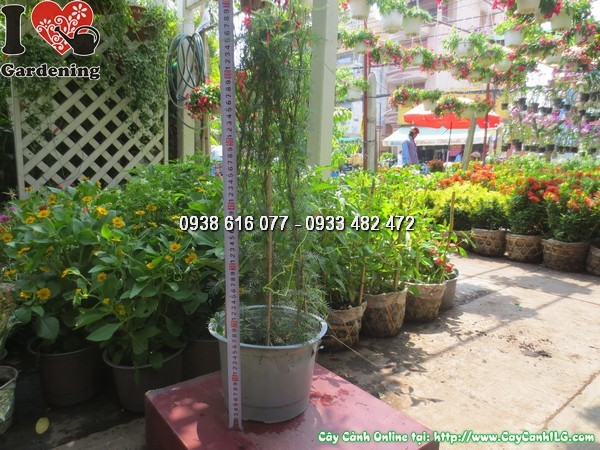 cay day toc tien cao 40cm