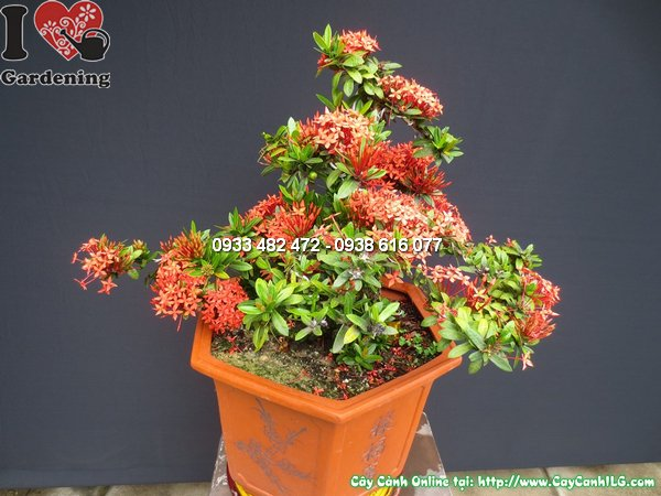 cay mau don do bonsai dep 40cm